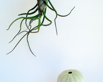 Hanging Sea Urchin Planter Set of Three Kit
