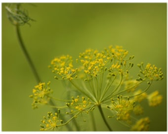 Golden Yarrow, Nature Photography