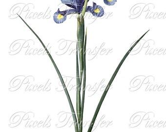IRIS Instant Download digital clipart, spring flowers white blue irises, digital download Redoute no.242