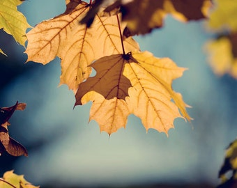 Autumn Photography Fall nature Photo gold golden photograph blue leaf leaves light orange home decor wall art for him maine - Fine Art Print
