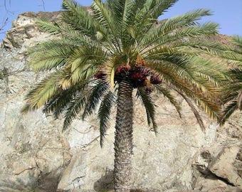 100 Date Palm Tree Seeds, Phoenix Dactylifera