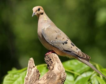 Mourning Dove, bird, nature, photo, print, photography, wall art, home decor, nature photography, free shipping, metal