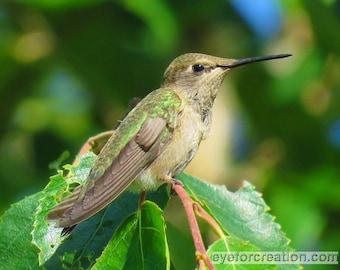 Anna's Hummingbird, Bird Photography, Photographic Art, Photographic Print, Wall Art Print, Wall Decor, Hummingbird Photograph