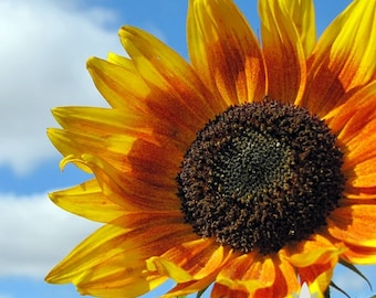 Autumn Beauty Sunflower Heirloom Seeds - Non-GMO, Open Pollinated, Untreated, Flower Seeds
