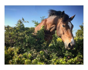 Portrait of a Wild Horse on a walk in Wales in colour for wall art and wall decoration gift