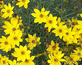 10 Rooted Live Coreopsis aka Tickseed Plants, Beautiful Yellow Blooms, Hardy Perennial Plants