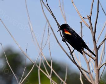 Red Winged Blackbird Photograph // Bird Photography // Nature Print