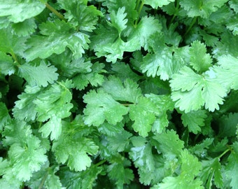Cilantro Slo-bolt Heirloom Coriander Seeds Excellent Flavor Grown To Organic Standards