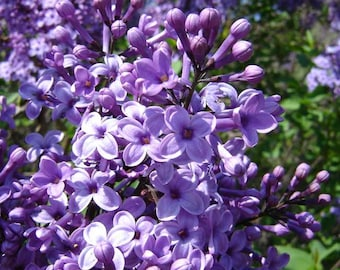 Syringa Vulgaris - 50 seeds - Common Lilac
