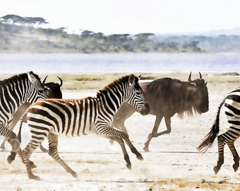 "Wildlife Photography, African Safari Serengeti Zebra, Wildebeest, ""Tanzanian Migration""   fine Art Print"