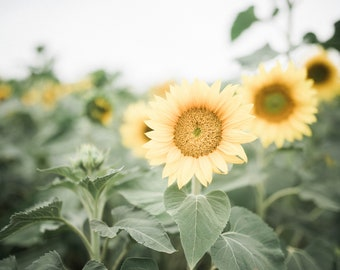 Sunflower Fine Art Photography Print 8x10