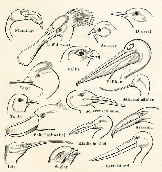 vogel anatomie druck vergleich der vogel k rper teile. Black Bedroom Furniture Sets. Home Design Ideas