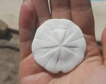 Star Burst Sand Dollar Cookie Rare Sand Dollars Loose Shell Shells Coastal Life Supplies Seashore Decor DIY ideas top inspiration weddings