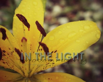CLEARANCE Yellow Lily 2 - 5x7 Fine Art Photo with foamboard
