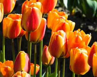 Instant digital download Orange Tulips fine art photography Tulip festival photo Nature photography