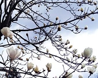 Printable Photography, Magnolia Tree, Blossom, Sky, Downloadable Poster.