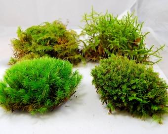 Live moss mix. Terrarium moss, vivarium moss, for miniature or fairy garden, terrarium plant, live decor, vivarium plant, for frogs #3