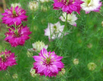 Nigella Seeds, Persian Red Nigella, Love In A Mist Flower Seeds, Great for Dried Flowers and Butterfly Garden