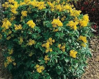 25 Mahonia aquifolium Seeds, Oregon Grape Seeds