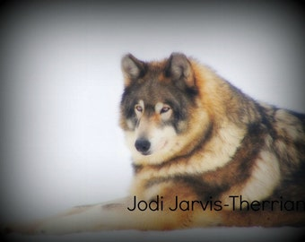 "5 x 7 matted Wolf photo ,""Love from within"" In memory of Cody."