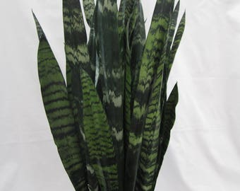 "Black Coral Snake Plant in 6"" Pot"