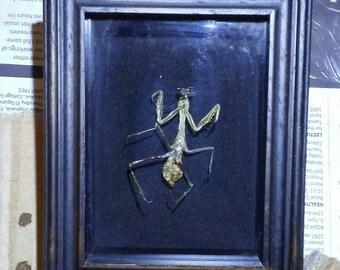 Praying mantis shadow box