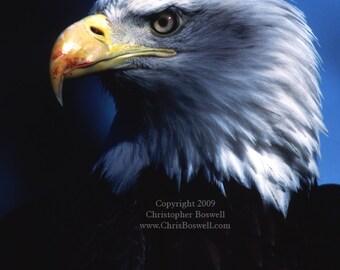 Bald Eagle American National Bird Animal Wildlife Print