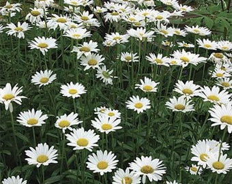 Daisy Seeds, Alaskan Shasta Daisy Seeds, FREE SHIPPING, Rabbit Rescue Donation