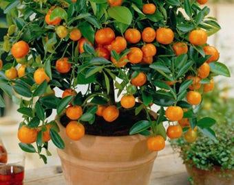 10 Edible Fruit Mandarin Seeds, Exotic Citrus Bonsai Mandarin Tree Fresh Seeds