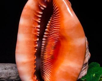 Natural Sea Snail Ammonite Decoration/Beach Decor/Sea shell/Snail Shell/Ancient Fossil/Big Seashell Decor/Ocean Decor/Beach Gift#5155