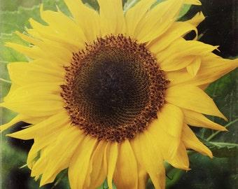 Sunflower, Flower, Flower Photography, Wall Art, Photo Print, Original Fine Art, 8x8 Photo