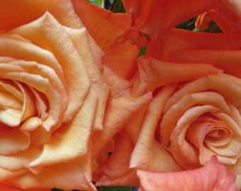 Rubinesque Orange Roses