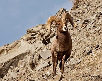 Bighorn Ram, Original Fine Art Photography