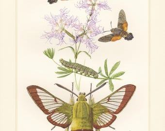 Vintage lithograph of hummingbird hawk-moth, broad-bordered bee hawk-moth from 1956