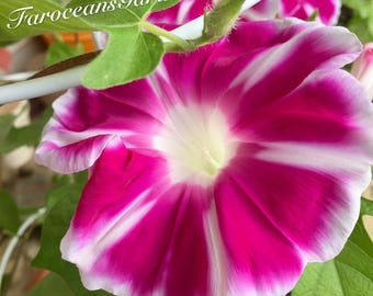 "Fuji no Beni - Classic Japanese Morning Glory Seeds (Deep Red of Mt. Fuji)(""Heavenly Blue"" as complimentary seeds)"