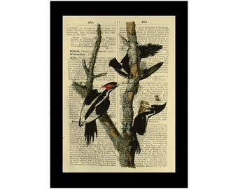 Vintage Ivory-Billed Woodpeckers - Dictionary Antique Book Page Art
