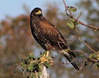 Harris's Hawk - Digital Download - Instant