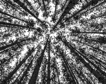 Conifer Trees Abstract Square Black and White