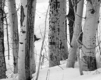 Crowd - Black and White Nature Landscape Photograph - Picture of Birch Trees in Winter - 4x6, 5x7, 8x10, 11x14, 16x20