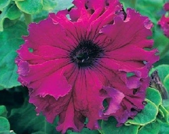 50 Pelleted Petunia Seeds Frillytunia Burgundy Improved frilly tunia