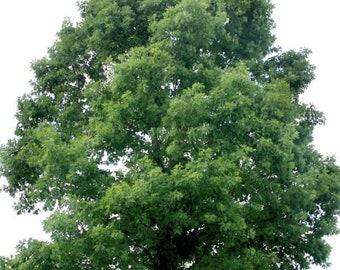 TreesAgain White Oak Tree - Quercus alba - 9 to 14+ inches