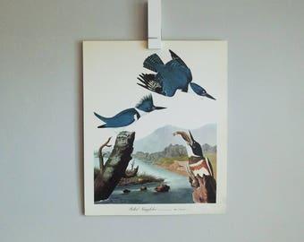 Belted Kingfisher Audubon Print (1964)