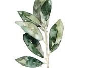 Bay Leaves Herb Painting ...