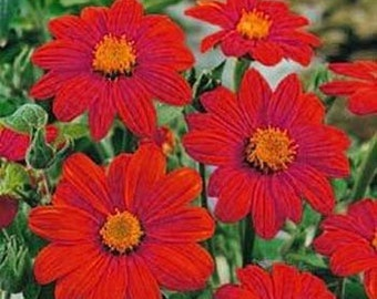 Red Torch Mexican Sunflower Flower Seeds/Annual  50+