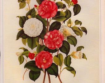 Vintage XLARGE CAMELIA JAPONICA Botanical Print 88 Antique Flower print, bookplate art print, flowers flower wall print wall art