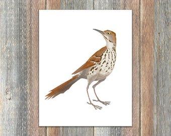 Brown Thrasher Bird Print