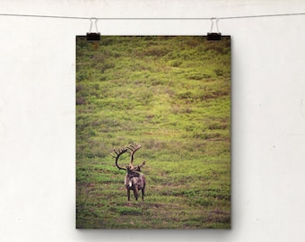 Caribou Photo, Wildlife Photography, Animal Country Art, Buck, Denali