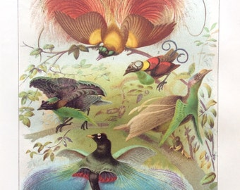 Vintage 1920s  BIRDS of PARADISE Chromolithograph Bookplate ORNITHOLOGY  Print