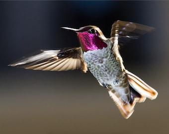 Flying Anna's Hummingbird - 8x12 12x18 16x24 24x36 Lustre Print - Nature Photography - Modern Art Wall Art - Bird in Flight -
