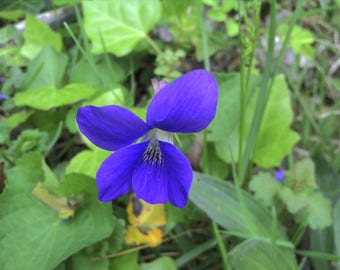 20 seeds wild purple violet Free Shipping